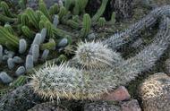 奇特的大自然:一种奇怪的仙人掌,如毛毛虫一般,还会移动