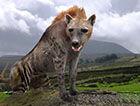巨鬣狗,体型巨大(600斤重)相当于成年棕熊的重量