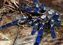 巨型金属蓝蛛:体内毒液伤人(不能轻易打搅)