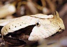 世界上毒牙最长的蛇,加蓬咝蝰咬住不松口