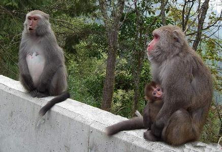 母猴也会来月经吗?如果没有,就说明人不是由猴子进化来的?